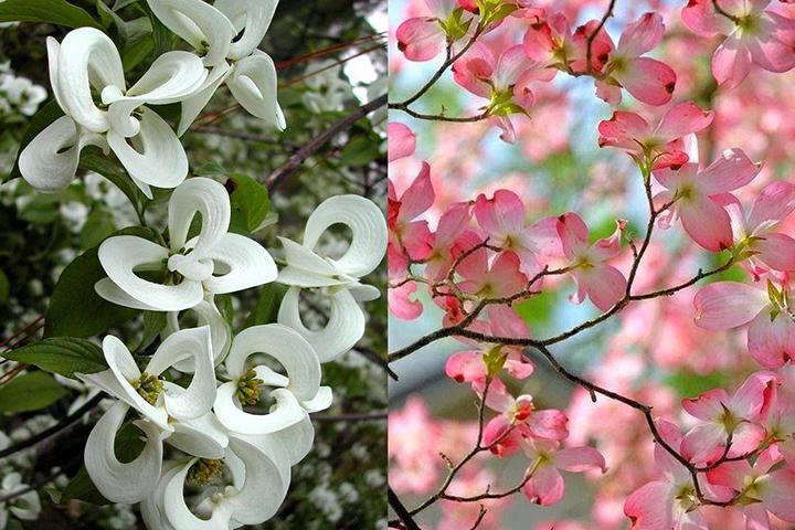 palissadesign- fleurs de cornouillers