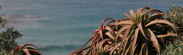 Carmel-by-the-sea et ses plantes succulentes