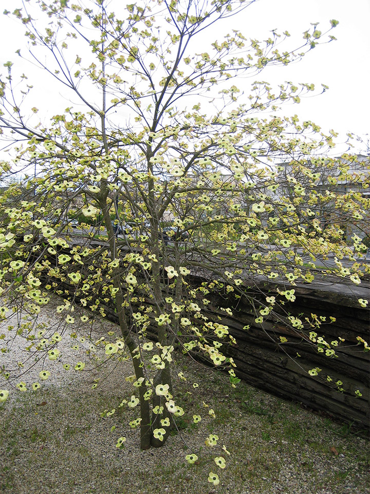 palissadesign-cornouiller de Nutall-jardin botanique-bordeaux